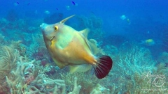 Filefish leading