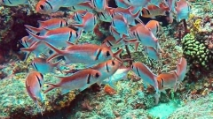 Red school of Soldierfish