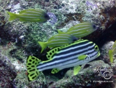 Diving - Wicked - Oriental sweetlips