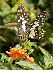 Chiang Mai - butterfly at Bai Orchid and Butterfly Farm
