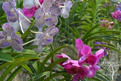 Orchid and Butterfly Farm, north of Chian Mai
