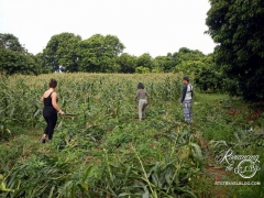 Elephant Nature Park - cornfield before