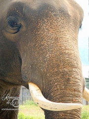 Elephant Nature Park - Bull, Jungle Boy