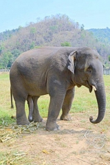 Elephant Nature Park - Happy young bull named Hope