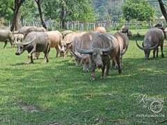 Elephant Nature Park - water buffalo