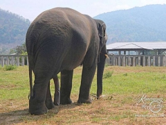 Elephant Nature Park - Five legged bull named Hope
