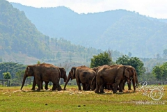 Elephant Nature Park - herd