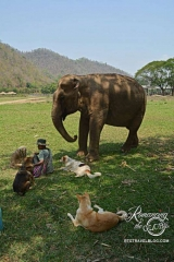 Elephant Nature Park - mahout and dogs