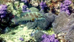 Jewel Grouper