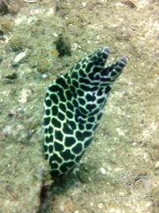 Moray - Leopard eel