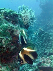 Heniochus Brown Butterflyfish, aka the Humphead Bannerfish