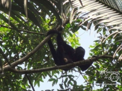 Monkey River howler monkey