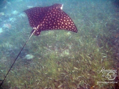 Spotted Eagle Ray! They were jumping beside the boat; Tom jumped in, swam with them and got this pic!
