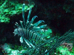 Belize diving - lionfish