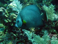Belize diving - Angelfish