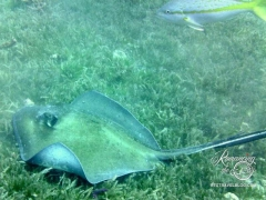St. Kitts dive - stingray