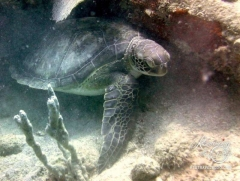St. Kitts dive - turtle