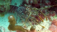 Tobago Cay Scuba - Lobster
