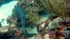 Tobago Cay Scuba - Nurse shark