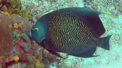 Tobago Cay Scuba - Queen Angelfish