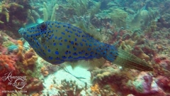 Tobago Cay Scuba - Scrawled Filefish