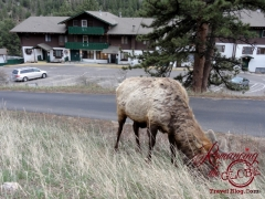 An elk with our lodging in the background