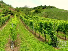 Mosel Valley Vineyards