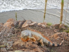 Iguanas roamed the cliff by the hot tubs - 4 feet long