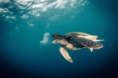 1 Turtle enjoying lunch at the Great Barrier Reef