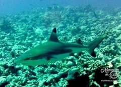 Black tip reef shark circling