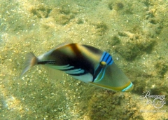 Picasso Triggerfish - There were a number of these beauties around our bungalow.