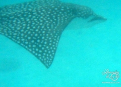 Raiatea snorkel - spotted eagle ray