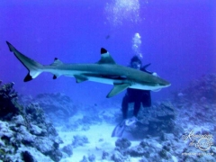 Huahine - This shark kept circling between Sheila and Tom!