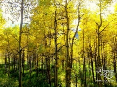 Ashcroft ghost town - The very beginning of our fall aspen colors!