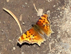 True Brushfoot Butterfly, Hoary Comma