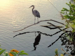 Everglades Heron reflection. Tom was incredibly patient for this shot.
