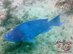 Dive - Blue Parrotfish
