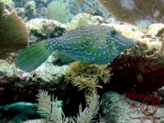 Dive - Scrawled filefish