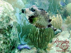 Dive - Trunkfish