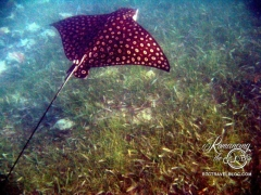 Spotted Eagle Ray - Belize, Rays were jumping out of the water around our boat, so Tom dove in, swam with them, and captured this shot